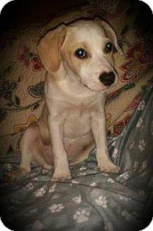 Labrador Retriever Mix Puppy for adoption in Marlton, New Jersey - Spot