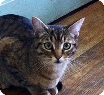 Domestic Shorthair Cat for adoption in Port Hope, Ontario - Peaches