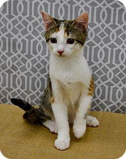 Domestic Shorthair Kitten for adoption in Richmond, Virginia - Lucie