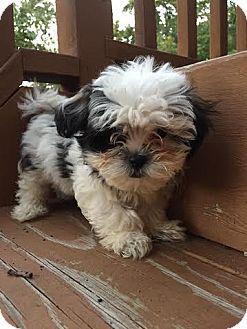 Maltese/Shih Tzu Mix Puppy for adoption in Algonquin, Illinois - Dempsey