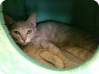 Domestic Mediumhair Cat for adoption in Newburgh, Indiana - Lacy