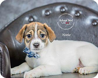 Jack Russell Terrier/Yorkie, Yorkshire Terrier Mix Puppy for adoption in Cincinnati, Ohio - Norie