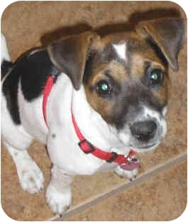 Jack Russell Terrier Puppy for adoption in Phoenix, Arizona - STAR