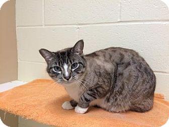 Domestic Shorthair Cat for adoption in Cumming, Georgia - Harrison