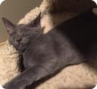 Russian Blue Kitten for adoption in East Hanover, New Jersey - Audii