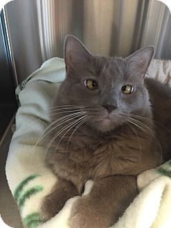 Domestic Longhair Cat for adoption in Toms River, New Jersey - Tribbles