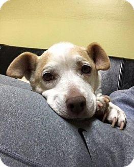 Chihuahua Mix Dog for adoption in Philadelphia, Pennsylvania - Princess Kate