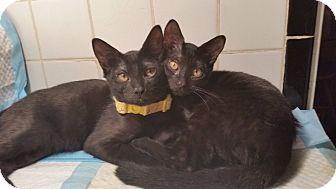 Domestic Shorthair Kitten for adoption in Port Richey, Florida - Morganna