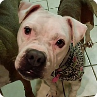 Adopt A Pet :: Pippa - Westminster, MD