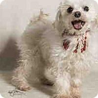 Adopt A Pet :: Aristotle, Maltese Beauty - Corona, CA