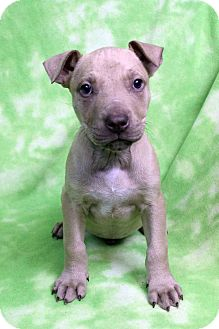 Retriever (Unknown Type)/American Staffordshire Terrier Mix Puppy for adoption in Westminster, Colorado - EDGAR