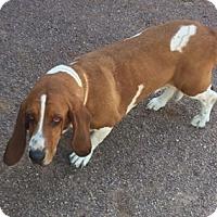 Adopt A Pet :: Smoke - Albuquerque, NM