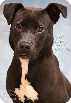 Pit Bull Terrier/Labrador Retriever Mix Puppy for adoption in Newnan City, Georgia - Micah