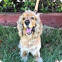 Adopt A Pet :: Andy - Sacramento, CA