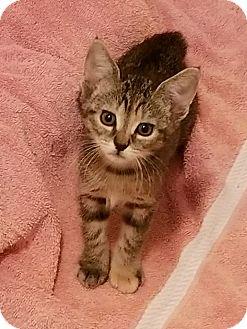 Domestic Shorthair Kitten for adoption in Stafford, Virginia - Gigabyte