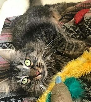 Maine Coon Cat for adoption in Livonia, Michigan - Tiffany