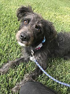 Irish Wolfhound/Poodle (Standard) Mix Dog for adoption in Santa Clarita, California - Bailey