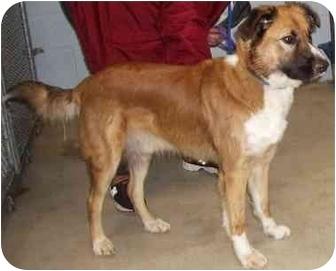 St. Bernard/Collie Mix Dog for adoption in Battleground, Indiana - Scotty