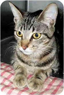 Domestic Shorthair Cat for adoption in San Clemente, California - APHRODITE