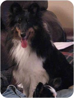 Sheltie, Shetland Sheepdog Mix Dog for adoption in Davis, California - Macy