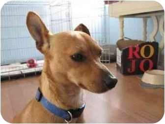 Chihuahua/Miniature Pinscher Mix Dog for adoption in Encino, California - DOBBY