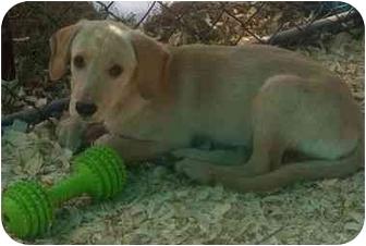 Labrador Retriever/Hound (Unknown Type) Mix Puppy for adoption in Richmond, Virginia - Jason