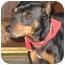 Photo 1 - Miniature Pinscher Dog for adoption in Poway, California - JAKE
