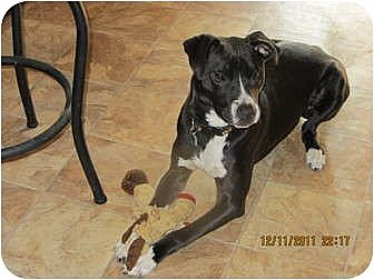 German Shorthaired Pointer/Doberman Pinscher Mix Dog for adoption in Memphis, Tennessee - Trek-a-Roo