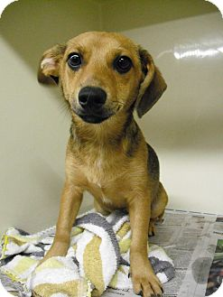 Dachshund/Beagle Mix Dog for adoption in Greenfield, Indiana - Willy