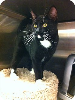Domestic Shorthair Kitten for adoption in Pittstown, New Jersey - Enzo