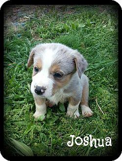 Australian Shepherd/Labrador Retriever Mix Puppy for adoption in Cranford, New Jersey - Joshua