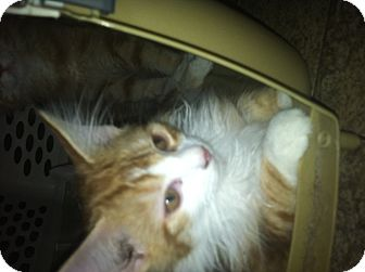 Domestic Longhair Cat for adoption in Clay, New York - Poptart