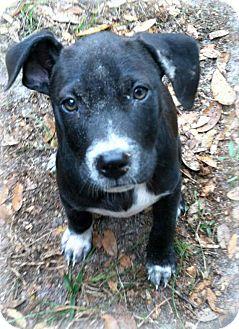 Hound (Unknown Type) Mix Puppy for adoption in Groveland, Florida - Clyde
