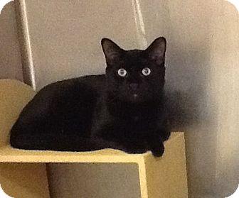 Domestic Shorthair Cat for adoption in Colmar, Pennsylvania - Magic