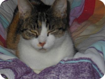 Calico Cat for adoption in Tampa, Florida - Aja