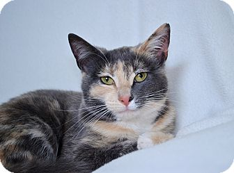 Calico Kitten for adoption in Clarksville, Tennessee - Ruthie Kitten #3