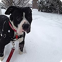 Adopt A Pet :: Dolly - Chicago, IL