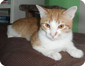 Domestic Shorthair Cat for adoption in Plano, Texas - CATNIP - PUP IN TABBY CAT BODY