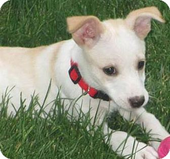 Labrador Retriever/Collie Mix Puppy for adoption in Waretown, New Jersey - LILLY