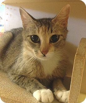 Domestic Shorthair Cat for adoption in Weatherford, Texas - Petra