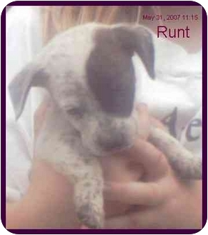 Dachshund/Australian Cattle Dog Mix Puppy for adoption in Chiefland, Florida - Runt