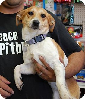 Beagle Mix Dog for adoption in Brooklyn, New York - Avery