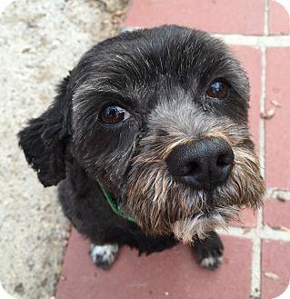 Schnauzer (Miniature)/Pug Mix Dog for adoption in Las Vegas, Nevada - Teddy