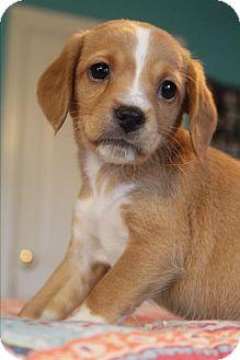 Beagle/Shih Tzu Mix Puppy for adoption in Allentown, Pennsylvania - Peep