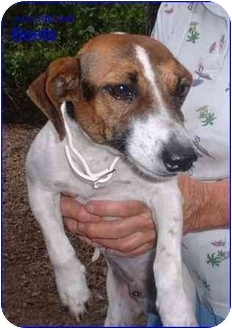 Jack Russell Terrier Dog for adoption in Chiefland, Florida - Scooter (AKA Boots)