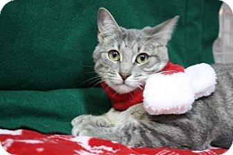 Domestic Shorthair Cat for adoption in Tallahassee, Florida - Rachel