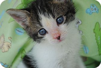 Domestic Shorthair Cat for adoption in Tallahassee, Florida - Bam Bam