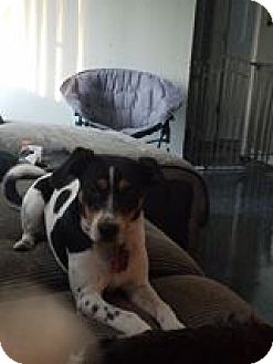 Beagle Dog for adoption in Speedway, Indiana - Milo