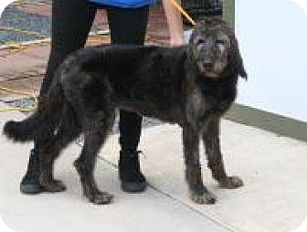 Labradoodle Mix Dog for adoption in Houston, Texas - Becca Kakes