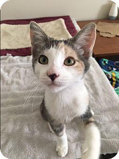 Domestic Shorthair Kitten for adoption in Southington, Connecticut - Delilah